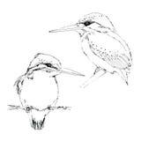 Tintenskizze des kleinen Vogeleisvogels Stockfoto