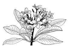 Tintenzeichnung der tropischen Blume des Plumeria Schwarzweiss- Lizenzfreies Stockbild