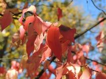 Tintes otoñales del rojo en las hojas del wahoo Foto de archivo
