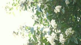 Tinus del Viburnum de Bush en un d?a ventoso soleado llamarada solar, 4k, c?mara lenta, floraci?n almacen de video