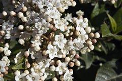 Viburnum com flores brancas fotografia de stock royalty free