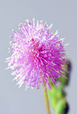 Tiny. Beautiful little isolated Mimosa pudica inflorescence Stock Photos