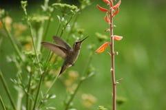 Tiny. A hummingbird and an aloe vera flower Royalty Free Stock Photos
