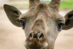 Adorable giraffe face is very cute. royalty free stock photography