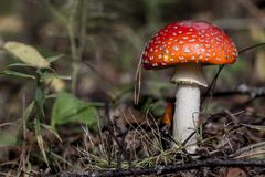 Young and small Amanita Muscaria close up in landscape. Tiny Amanita Muscaria close up Royalty Free Stock Images