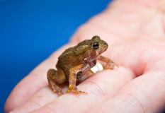 Tiny American Toad stock photography
