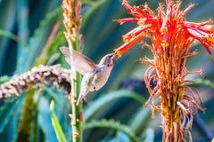 Tiny Anna`s Hummingbird drinking nectar royalty free stock photography