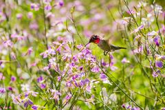 Tiny Anna`s Hummingbird drinking nectar from a wildflower Royalty Free Stock Images