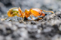 Tiny Ant. With green food coloring in it's belly Stock Photography
