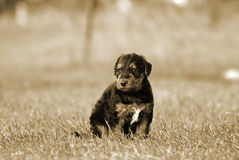 A tiny baby Airedale Terrier puppy dog in meadow s Stock Image