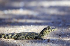Baby Caiman Crossing Road Royalty Free Stock Image