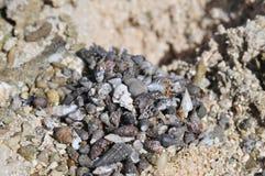 Tiny Baby Hermit Crabs Stock Photography