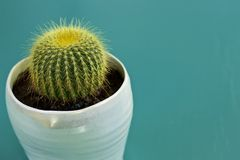 Tiny Barrel Cactus. Close-up on a small Barrel cactus in a white pot on a teal background stock photos