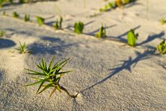 Tiny Beach Plant Royalty Free Stock Images