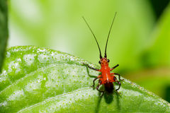 Tiny Beautiful Asian Red and Black Long Horn Grasshopper Royalty Free Stock Image