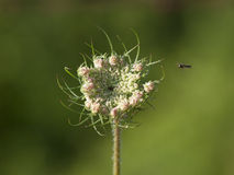 Tiny Bee Flying Towards a Flower. Queen Anne's Lace flower with tiny bee approaching in the air Stock Images