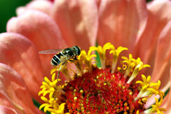 Free Tiny Bee On A Flower Stock Photography - 5257332