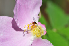 Tiny bee on a pink rose Stock Photography