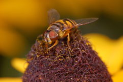 Tiny Bee on Pollinating Yellow Flower Stock Image