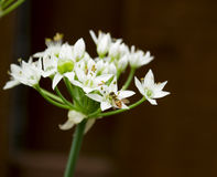 Tiny Bee on White Flower Wild Onions Stock Images