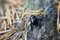 Tiny beetle on a rock between pine needles Royalty Free Stock Image