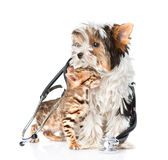 Tiny bengal cat and Biewer-Yorkshire terrier puppy with stethoscope. isolated Royalty Free Stock Photo