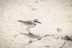 Tiny bird in Cayo Levisa Island in Cuba Royalty Free Stock Images