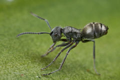 A tiny black ant Royalty Free Stock Photos