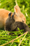 Tiny black bunny resting with big orange rabbit Stock Photography