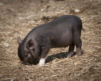 Tiny Black Piglet Eating Hay. Little black piglet with one white hoof eating hay while looking at camera Stock Photo