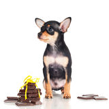 Tiny black puppy with chocolate pieces Royalty Free Stock Images