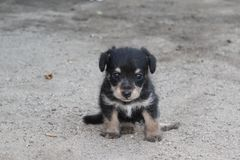 A tiny black and tan puppy sitting in the dust in a back yard. Royalty Free Stock Photos