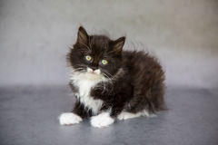 Tiny Black and White Kitten. Portrait of a fluffy black and white kitten with big yellow eyes on grey background Royalty Free Stock Photos