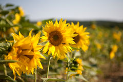 Tiny blooming sunflowers Stock Images