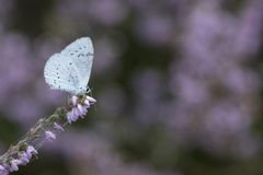 A blue butterfly on a purple flower royalty free stock photography