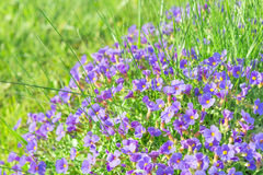 Tiny blue decorative flowers Aubrieta in sunshine ornamental gar Royalty Free Stock Photo
