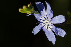 Tiny Blue Flower Proudly Displaying its Stamen in the Morning Sunshine Royalty Free Stock Images