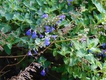Tiny Blue Flowers Stock Photography