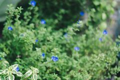 Tiny blue flowers with fresh green leaves. Tiny blue flowers field with blur fresh green leaves Royalty Free Stock Images