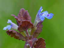 Tiny Blue Flowers, Maroon Leaves Royalty Free Stock Image