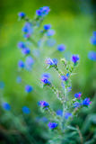 Tiny blue forest flowers Royalty Free Stock Images