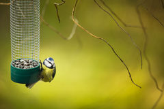 Tiny Blue tit on a feeder in a garden, hungry during winter Stock Image
