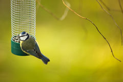 Tiny Blue tit on a feeder in a garden, hungry during winter Royalty Free Stock Photo