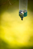Tiny Blue tit on a feeder in a garden, hungry during winter Royalty Free Stock Image