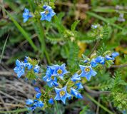 Blue Wildflowers in Chugach National Forest. Tiny blue wildflowers blooming amongst the grass . The little yellow centers stand out. You can just feel the stock photo