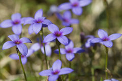 Tiny Bluet Wildflowers - Houstonia pusilla Stock Photography