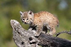 Tiny Bobcat Kitten. Closeup of a curious Bobcat Kitten against a blurred background Stock Images