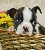 Tiny Boston Puppy Royalty Free Stock Photo