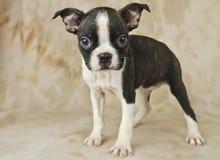 Tiny Boston Puppy Royalty Free Stock Photography