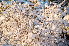 Tiny branches covered with snow Royalty Free Stock Photography